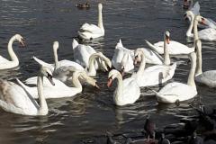 Swans of the Vltava River